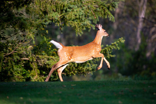 White-tailed deer fawn (odocoileus virginianus) running to the forest in early september with spots starting to fade