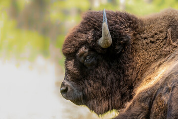 Fototapeta The American bison or simply bison (Bison bison), also commonly known as the American buffalo.