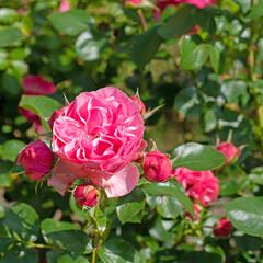 Blühende rote Edelrosen im Garten