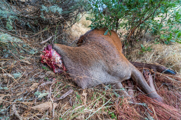 Death male deer without head, poaching activities