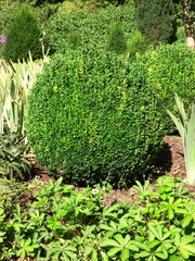 Ball-shaped cut boxwood, as a decorative element in the garden or park, small leaves are close together. Upper side of the leaf is glossy dark green and the underside is significantly lighter and matt