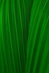 mocno zielone li艣cie bananowca