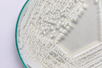 Yeast in petri dish, Microbiology for education in laboratories.