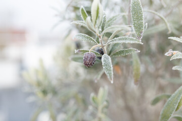 Olive branches in the autumn frost Olive branches in the autumn frost. Gray fog in mornig on a terrace for a winter background. Close up with short depth of field and space for text.