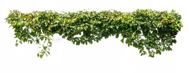 Obraz green ivy plant isolate on white background - fototapety do salonu