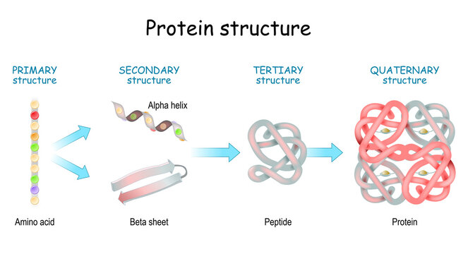 Protein structure levels. From Amino acid to Alpha helix, Beta sheet, peptide, and protein molecule.