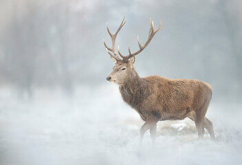 Close up of a Red deer stag in winter