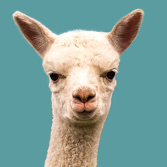 Cute alpaca baby isolated on blue background