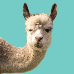 Funny alpaca llama isolated on blue background