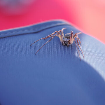 Large brown spider on a blue surface
