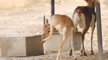 Antelopes and blackbuck in indian wildlife