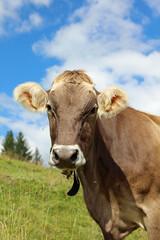 Cattle in the European Alps. Tyrol. Austria