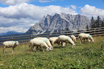 Herd of Sheep in the European Alps. Tyrol. Austria
