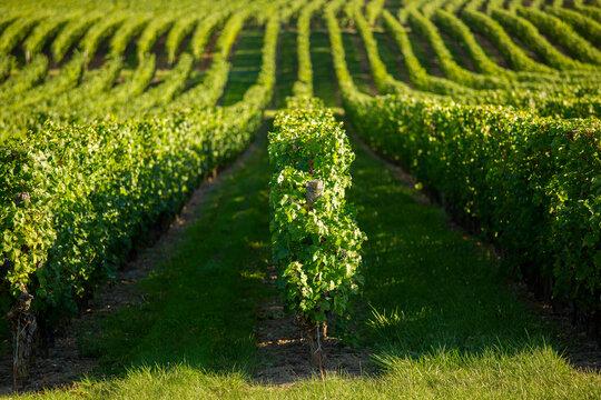 Paysage de vignoble en France, rangs de vigne en perspective.