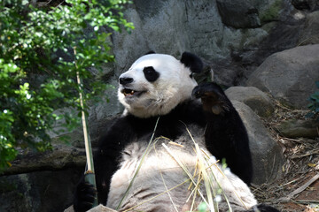 Giant panda eating on the ground