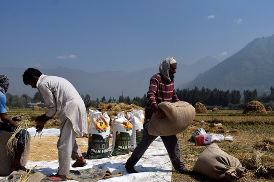 Kashmiri farmers pack winnowed rice grain in bags after a harvest on the outskirts of Srinagar