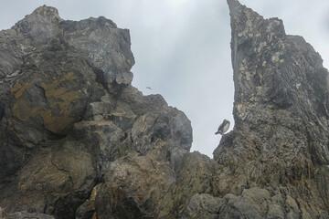 European Shag pigmy coromorant Phalacrocorax bird