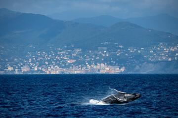 Humpback whale calf while breaching in Mediterranean sea ultra rare in Camogli near Genoa, Italy August 2020