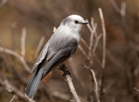 Grey jay in northern forest