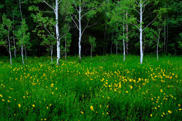 Aspen Trees in Meadow with Yellow Sunflowers Lush Green
