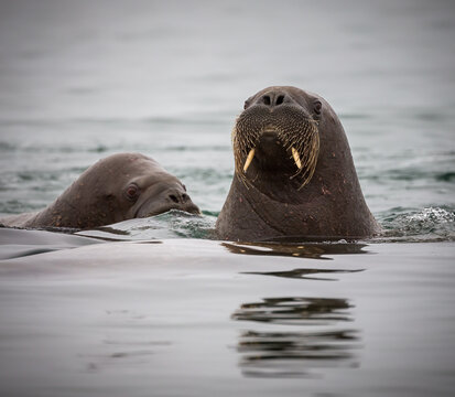 Young female walrus pops up to see what is going on