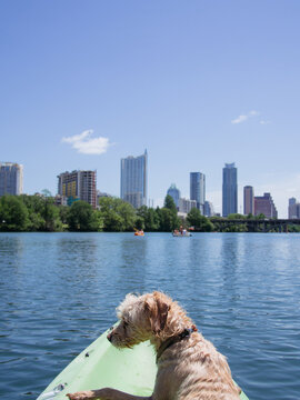 Young golden terrier in front of kayak with city skyline