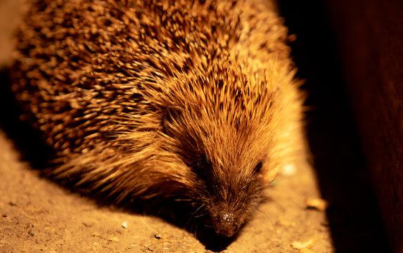 British Hedgehog close-up