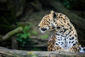 Side portrait of head of amazing Amur leopard, Panthera pardus orientalis, against dark, natural background. Critically Endangered animal in captivity