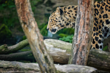 Side portrait of head of amazing Amur leopard, Panthera pardus orientalis, walking behind trees, against dark, natural background. Critically Endangered animal in captivity.