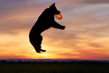 Silhouette of Bohemian shepherd, purebred dog, high jumping and  catching orange disk against colorful red evening sky.  Active family dog in training games.