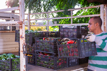 Experienced latin american farmer loading truck with freshly harvested peppers in plastic crates on farm