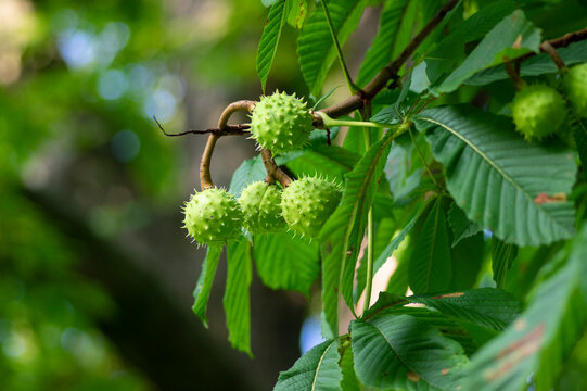 Branches of Aesculus hippocastanum with leaves and ripening spiny fruits called horse chestnuts, detail of conker tree