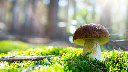 Art Autumn Nature background. Cep Porcini mushroom on the moss in sunny autumn forest.