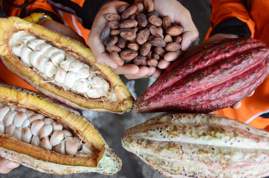 Comparison of dry cocoa beans and cocoa pods just harvested from the tree