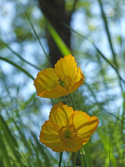 close up of two bright yellow welsh poppy flowers against a blurred background of grass and sky