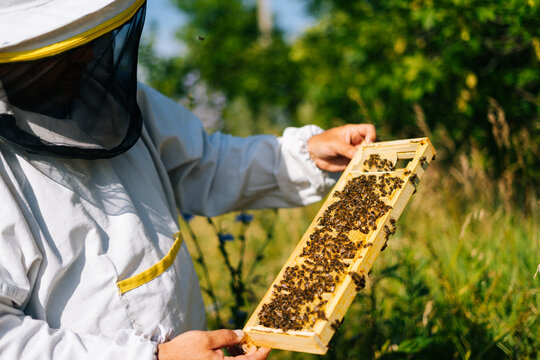 Apiarist inspecting honeycomb full of bees on wooden frame to control situation in bee colony. Beekeeper working with bees and beehives on apiary in bright summer sunny day.