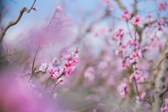 Spring. Pink Cherry Blossoms