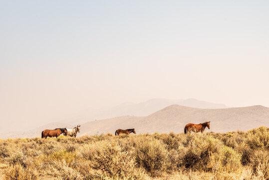 wild horses in Nevada desert