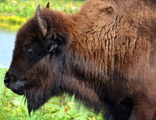 Fototapeta Bison are large, even-toed ungulates in the genus Bison within the subfamily Bovinae.