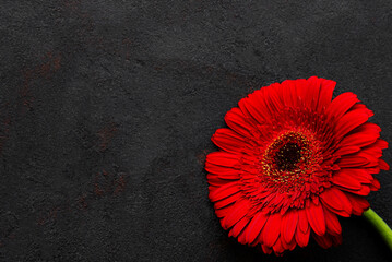 Bright gerbera flower on black background