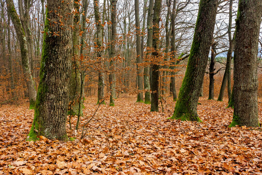 forest and fallen foliage in november. dry leaves on the ground. leafless branches and trunks with moss. calm nature scenery.