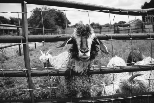 Goat Through Fence