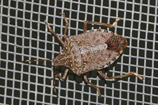 brown marmorated stink bug Latin halyomorpha halys from the pentatomidae family on a screen door in Italy a serious pest in Europe and the USA
