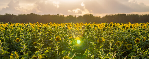 Fototapete - Summer landscape: beauty sunset over sunflowers field. Panoramic views