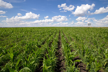 Fototapete - Blue Sky and white clouds above green Field corn, panoramic view. Beautiful scenic dynamic Landscape agricultural land. Beauty of nature. Agriculture. Cornfield. Growing vegetables on the farm.