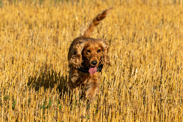 Dog puppy cocker spaniel coming to you in grain field