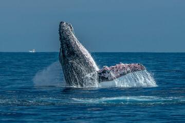 humpback whale breaching in cabo san lucas pacific ocean