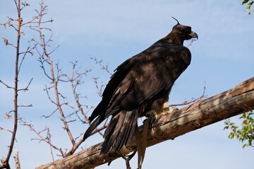 Golden eagle sits on a wooden platform among the branches.