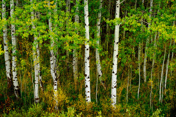 Aspen Trees in Fall with Colors Lush Forest Birch
