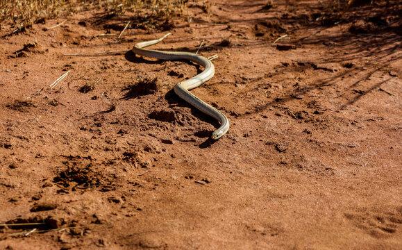 Blond Hognose Snake in Ankarafantsika National Park of Madagascar